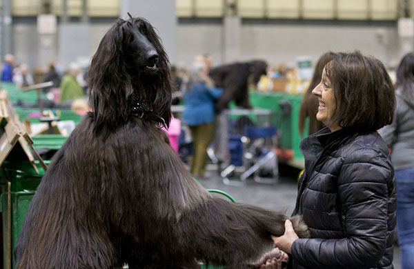Afghan hound and owner