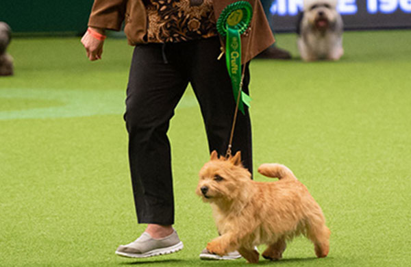 Norwich Terrier being shown
